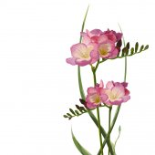 Flower Freesia with buttons and leaves herbs beautiful bouquet composition vector color fine illustration of elegant element isolated white background Vertical side view Background pattern design