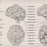 Anatomical diagram of human Brain. Medicine, Vecto...