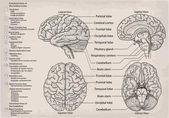 Anatomical diagram of human Brain. Medicine, Vector illustration