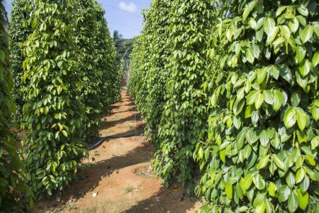 black pepper plantation at daytime