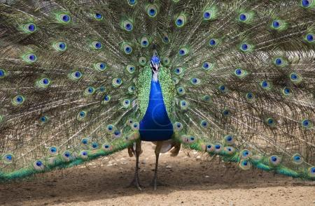 Beautiful wild peacock with outspread feathers at ...