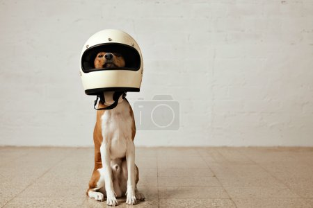 dog wearing a huge white motorcycle helme