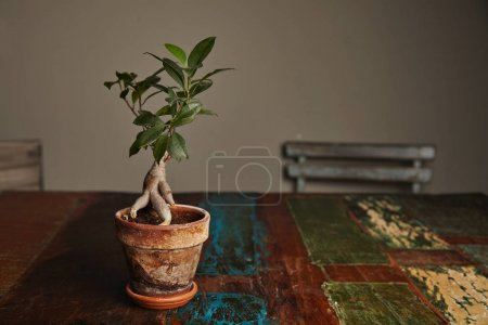 Photo for Beautiful green ficus tree grown as a ginseng bonsai in a rustic stained clay pot on a rough old wooden table with peeling paint - Royalty Free Image