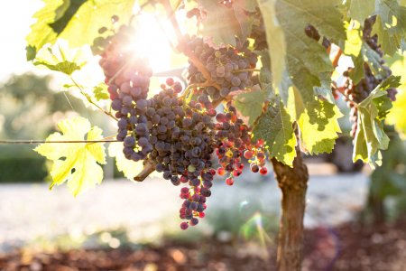 Photo for Close up of bunch of ripe and organic biological ecological grapes hanging from branch in warm sunset sunlight and leaves green in autumn season - Royalty Free Image