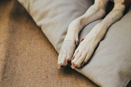 Paws of basenji dog on pillow