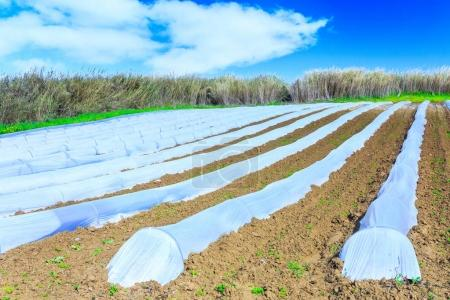 Photo for A typical agriculture technology of early spring cultivation of vegetable crops in open soil. Arable wrapped a polyethylene film. Springtime landscape somewhere in Portugal. Farming. Food production. - Royalty Free Image