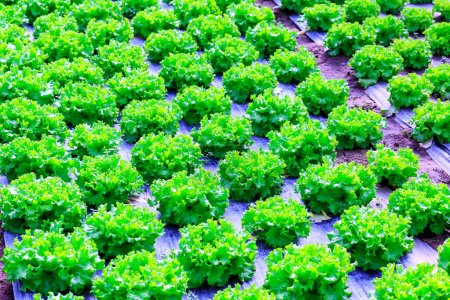 Photo for Organic green lettuce plants or salad vegetable cultivation in red soil wrapped a black polyethylene film at greenhouse farm. Concept of healthy eating. Farming. Food production. Somewhere in Portugal - Royalty Free Image