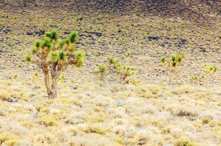 Photo pour Cholla cactus et cactus Saguaros dans le paysage de désert de l'Arizona. - image libre de droit
