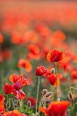 Nature, spring, blooming flowers concept - close-up of industrial farming of poppy flowers in the open ground, active flowering crops on a field of poppies - vertical - empty space for text.