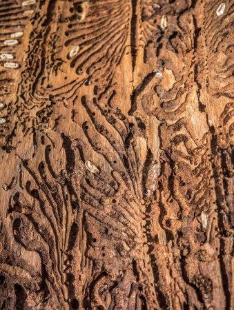 Rastros de una plaga en un primer plano de corteza de árbol. Madera dañada por escarabajo de corteza. Destrucción de la corteza del árbol por el gusano leñador insecto bootle. Madera de árbol erosionada en agujeros de gusano sufre de infección de escarabajo de corteza