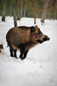 Wild boar in a snowy forest
