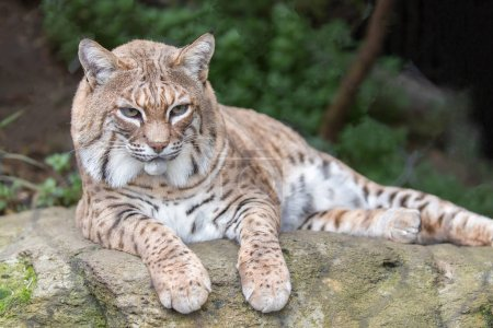 Bobcat (Lynx rufus californicus) resting on a rock and posing.