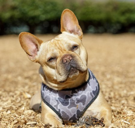 Frenchie male head tilting near his pine cone. Off...