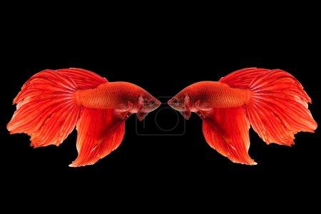 Photo pour Beaux mouvements des poissons fighting siamois en isolat sur fond noir - image libre de droit
