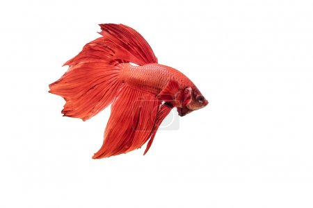 Photo for Beautiful movements of the Siamese fighting fish. - Royalty Free Image