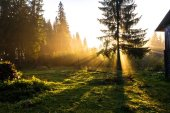 Rays of light at dawn in a coniferous forest