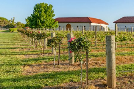 Vineyards at Coonawarra in South Australia