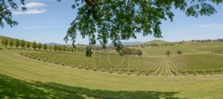 vineyard in north Yarra Valley