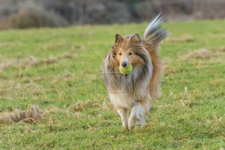 young Shetland Sheepdog running with tennis ball in mouth