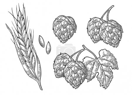 Illustration for Set hop herb plants with leaf and Ear of wheat. Isolated on white background. For labels, packaging and poster with production process brewery of beer. Vector vintage engraved illustration. Hand drawn - Royalty Free Image