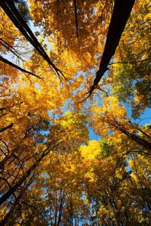 Photo pour Vue panoramique splendide Sur la branche Arbres hauts aux feuilles colorées Sur le ciel bleu Au coucher du soleil À l'automne Parc Vue du bas. - image libre de droit