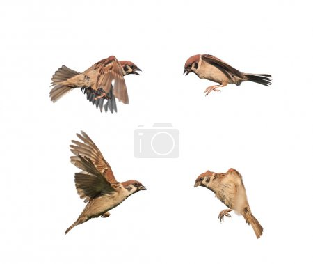 Photo for Birds sparrows in flight isolated on a white background in various poses - Royalty Free Image