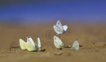 Много белых красивых нежных бабочек приземлился на песок быть