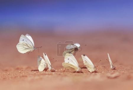 Много белых красивых нежных бабочек приземлились на пляже