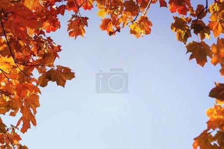 Photo pour Feuilles de fond naturel clair avec des branches d'érable avec automne coloré - image libre de droit