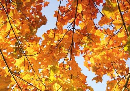 Photo pour Fond naturel avec des branches d'érable avec Golden autumn leaves - image libre de droit
