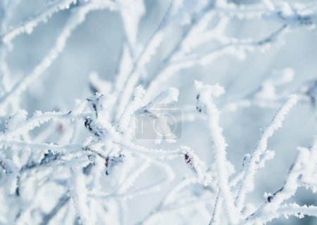 natural background of branches of dog-rose covered with cold ici