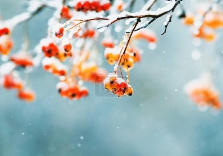 leuchtend saftige rote Trauben von Vogelbeeren mit weißen cr bedeckt