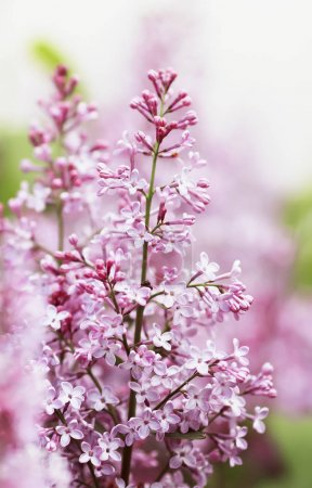 Photo for Beautiful branch of lilac with pink flowers blooming in spring garden - Royalty Free Image