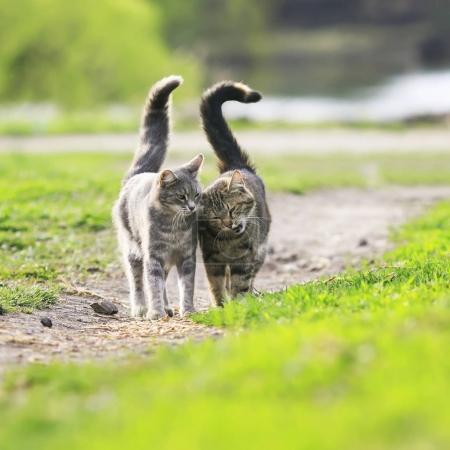 Photo pour Un couple amoureux beaux chats rayés sont côte à côte sur une prairie de printemps vert - image libre de droit