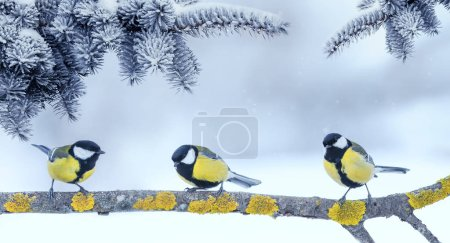 Photo pour Three little funny bright beautiful bird Tits sitting under fir branches in winter new year Park - image libre de droit