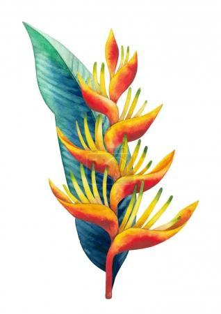 Photo pour Bouquet d'héliconie aquarelle. Fleurs exotiques peintes à la main isolées sur fond blanc - image libre de droit