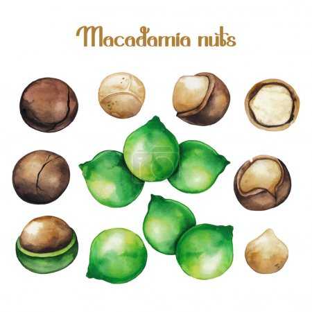 Watercolor macadamia nuts