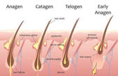 Human head hair growth cycle Biological catagen telogen phases Hair infographics