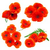 Collection poppy red flowers