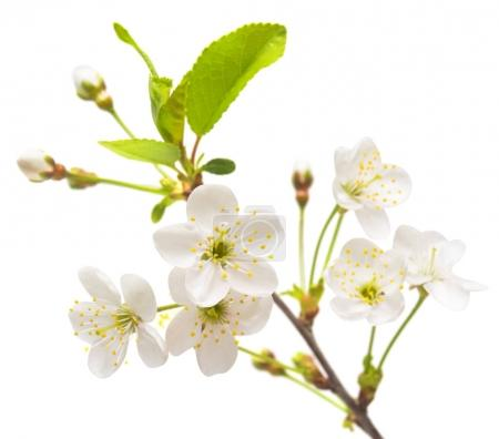 A branch of cherry blossoms