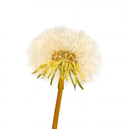One dandelion flower