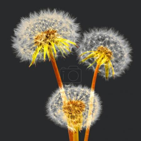 Three dandelions  flowers