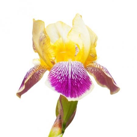 Yellow-purple flowers iris