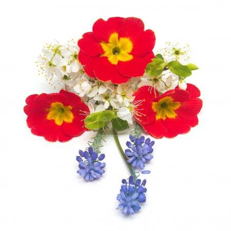 Flowers primrose, muscari