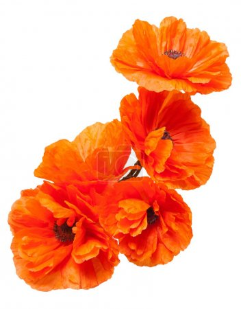 Beautiful Flowers poppies