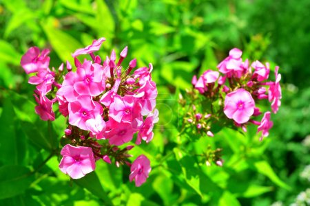 Pink phlox flowers in the garden on a lawn background. Summertim