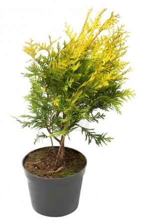 Beautiful golden Thuja in the form of a ball isolated on white b