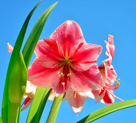 A bouquet of amaryllis pink flowers on a blue sky background. Fl