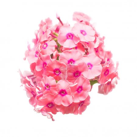 Beautiful branch of phlox flower isolated on white background. F