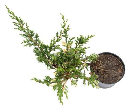 Juniperus horizontalis Andorra Compacta Variegata in a pot isola